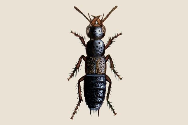 Rove beetle (Philonthus politus) illustration