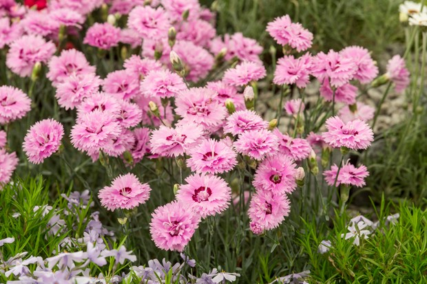 Deeply-toothed pink flowers of alpine 'Popstar'