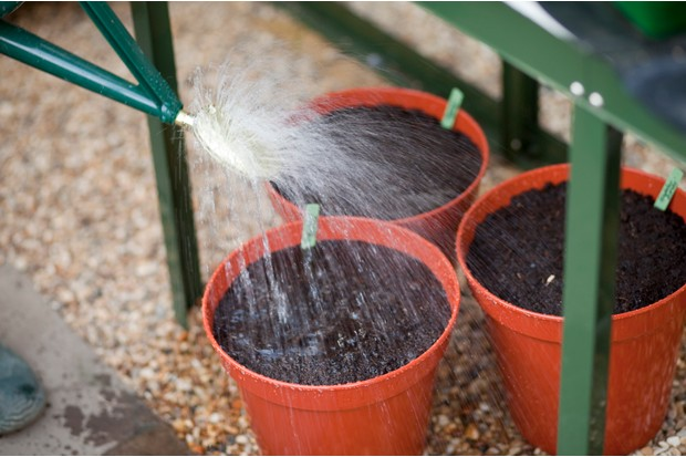 Planting gladioli corms - watering the pots