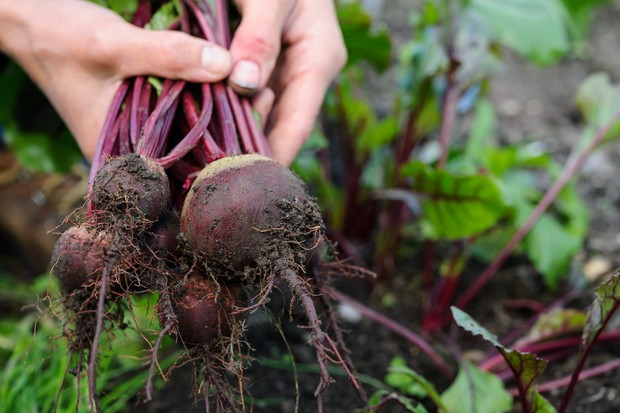 harvesting-beetroot-8
