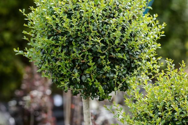 Chinese privet (Ligustrum lucidum) lollipop standard