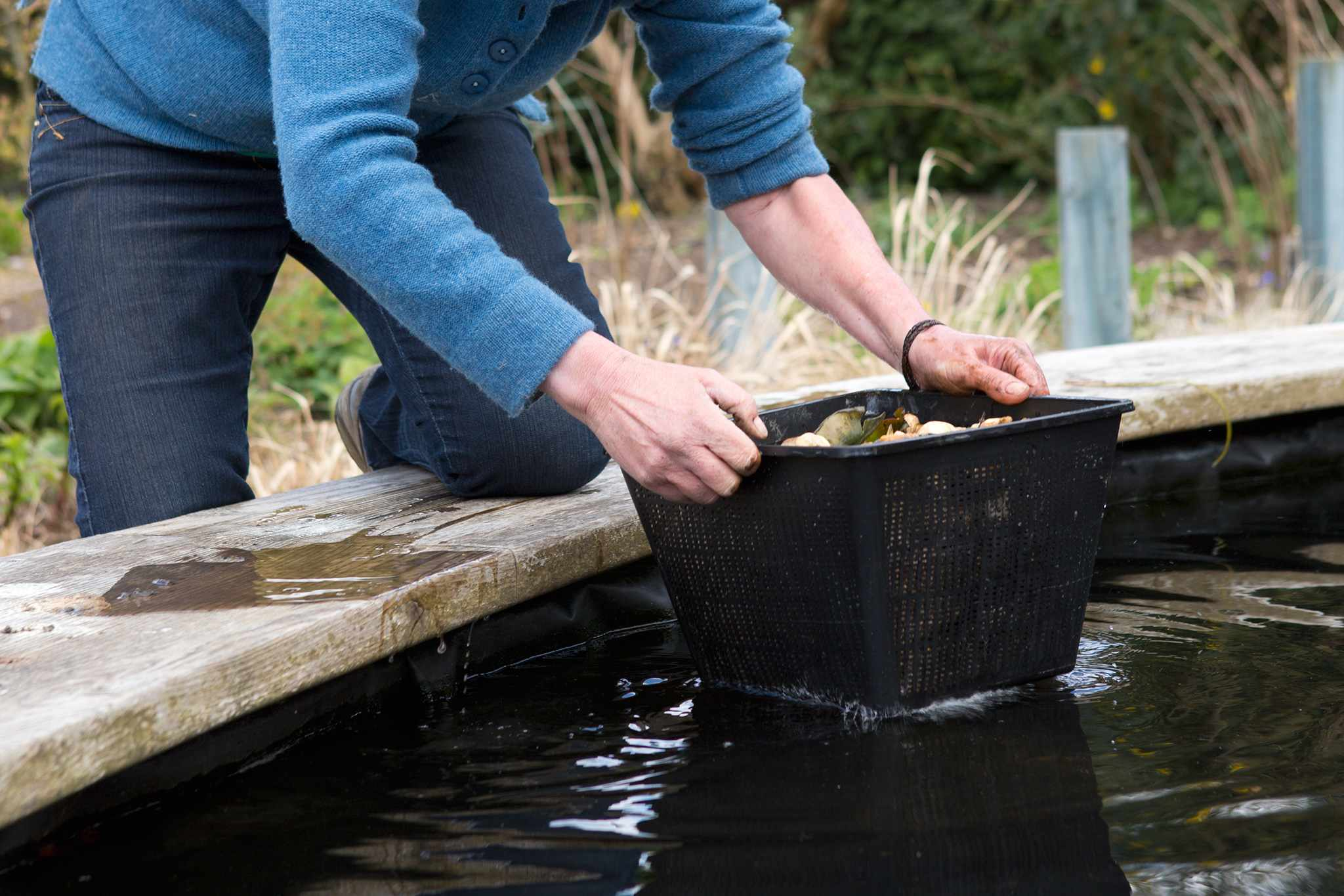 Repotting a water lily