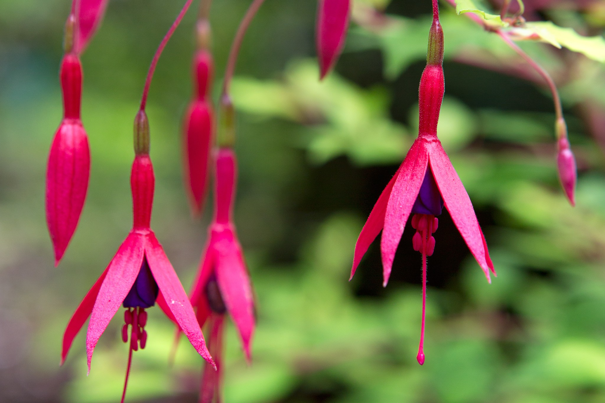 Hardy Fuchsias to Grow