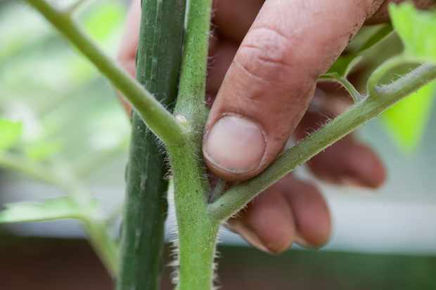 Pinching out side shoots of cordon tomatoes