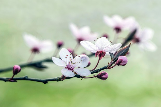 Cherry plum, Prunus cerasifera 'Nigra'
