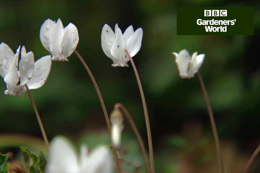 How to plant cyclamen in autumn