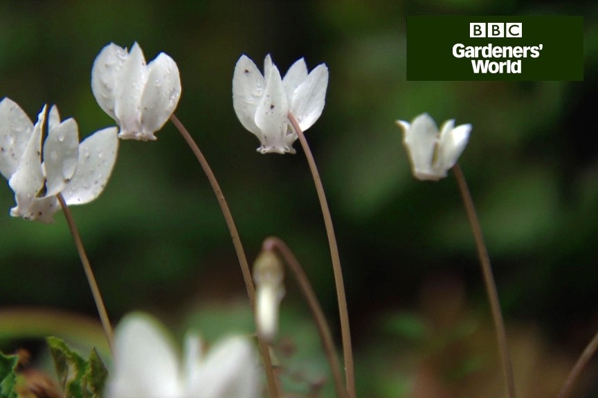 How to plant cyclamen in autumn video