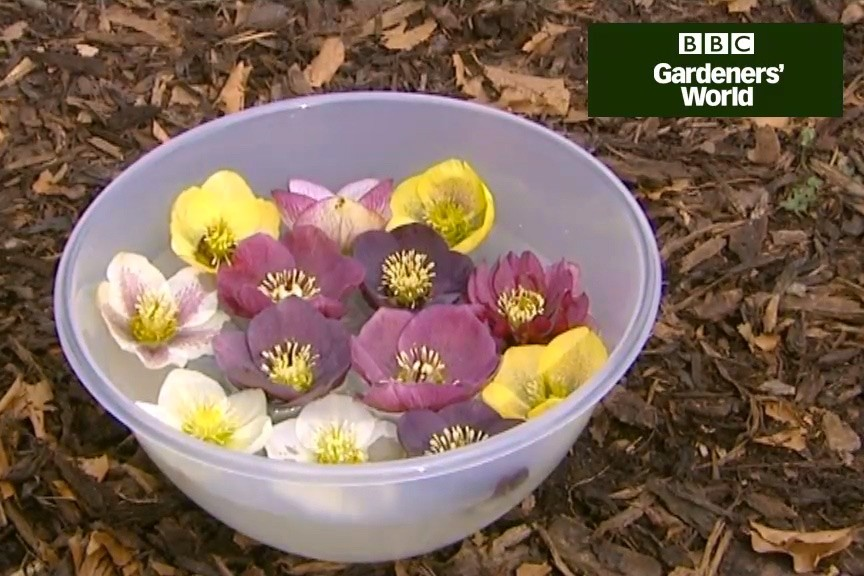 How to hand pollinate hellebores video