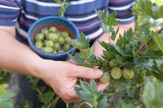 harvesting-gooseberries-3