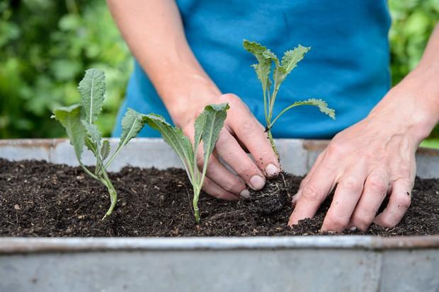 Planting kale seedlings