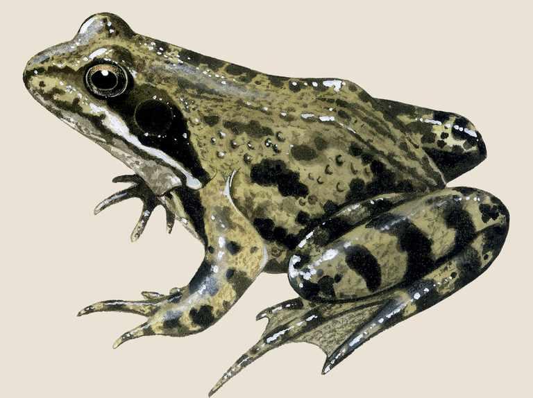 Garden wildlife identifier: amphibians and reptiles