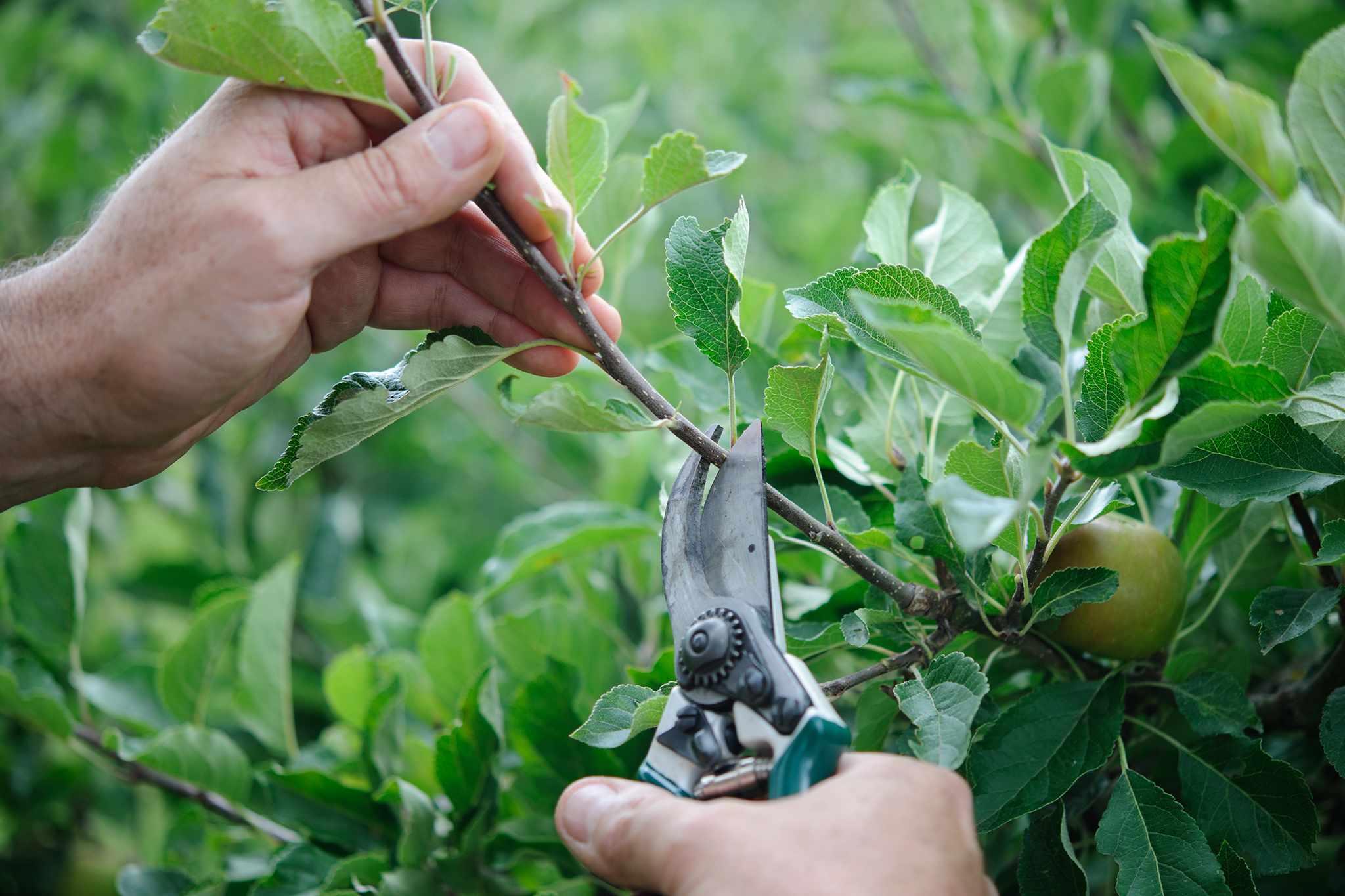 Pruning fruit trees in summer