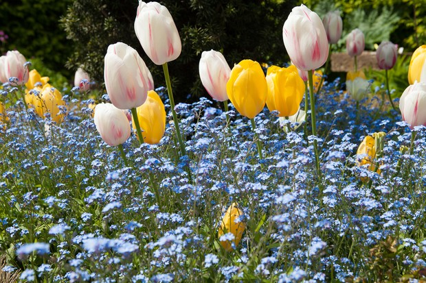 tulips-roi-du-midi-and-carmargue-and-forget-me-nots-myosotis-sylvatica-2