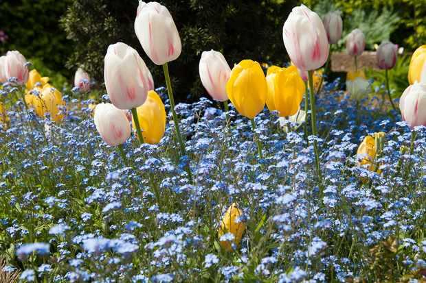 tulips-roi-du-midi-and-carmargue-and-forget-me-nots-myosotis-sylvatica-2