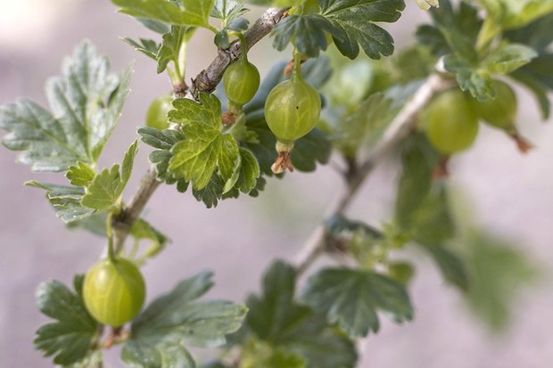 Gooseberry plant with young fruit