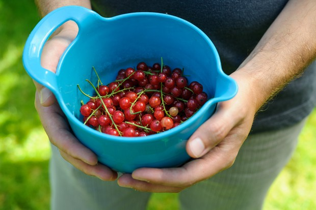 Freshly picked redcurrants