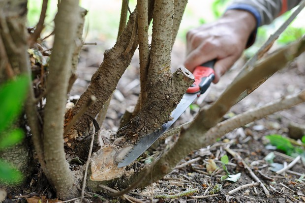 Pruning a thick branch just above its collar using a pruning saw