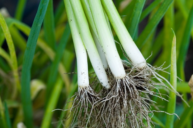 Freshly harvested spring onions