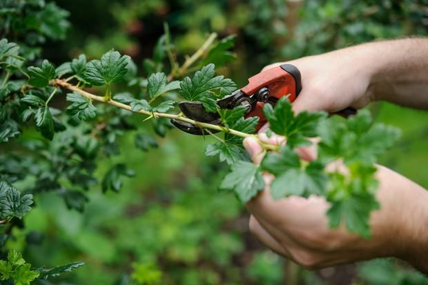 Pruning a gooseberry bush