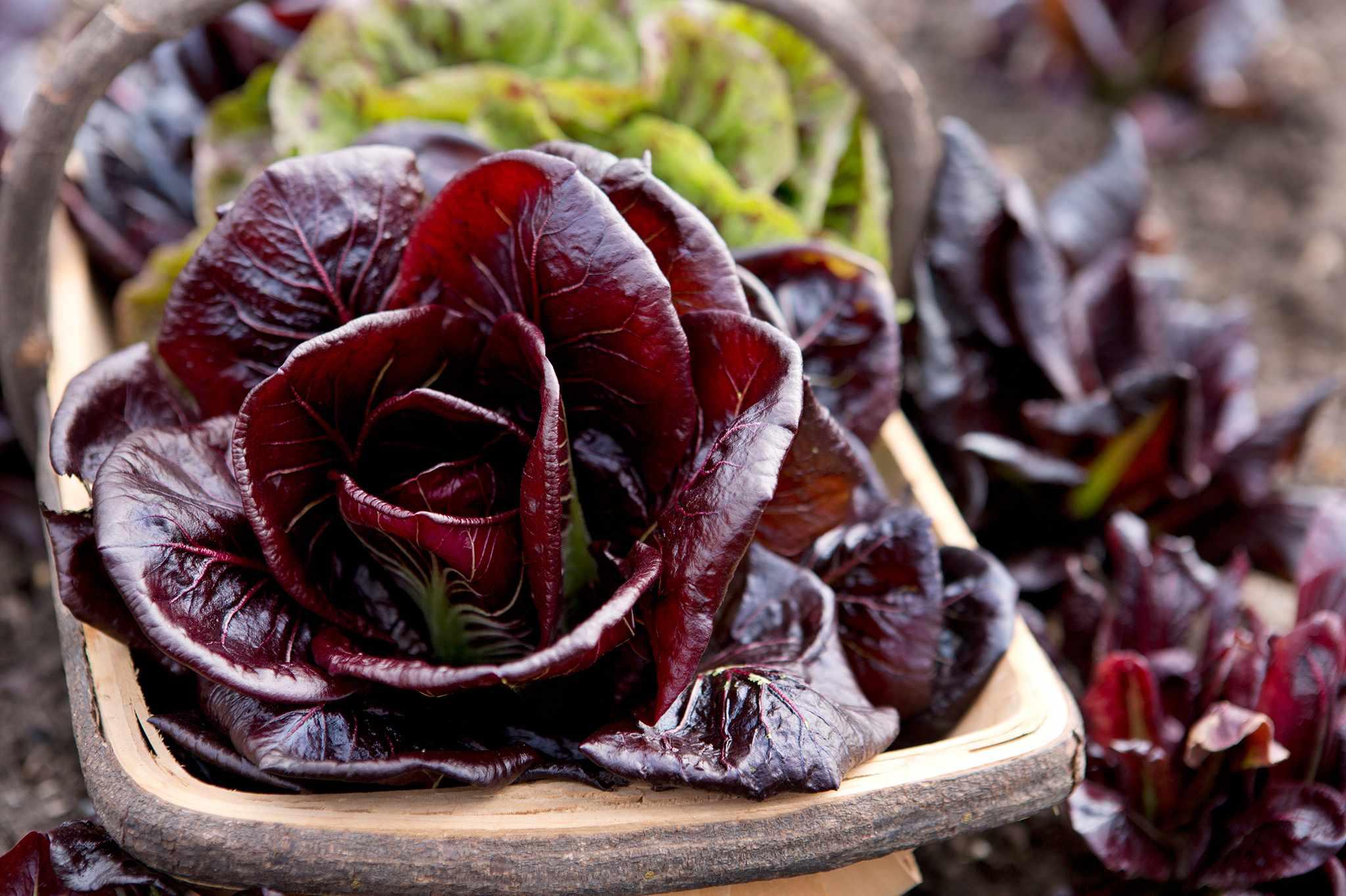 Chicory – Grow Guide