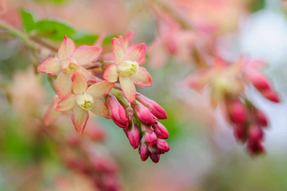 Red buds and peachy-yellow flowers of Ribes x beatonii