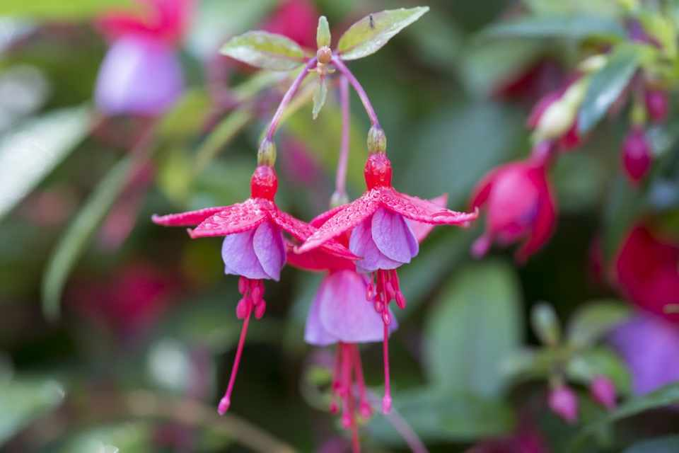 Pink and pale purple fuchsia flowers
