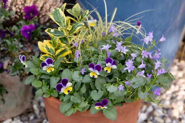 Viola and euonymus container