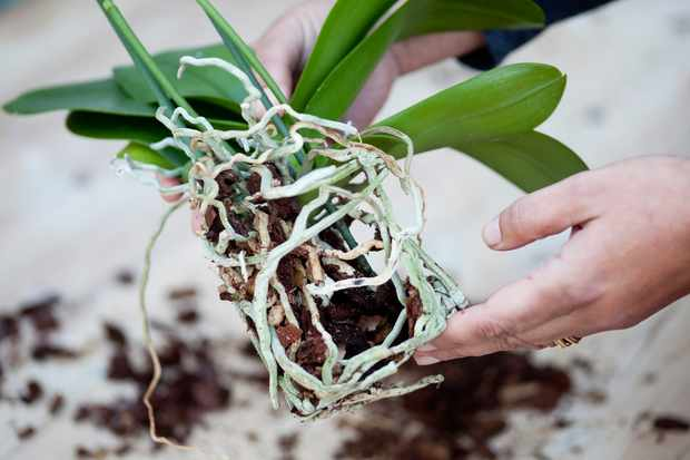 a-moth-orchid-out-of-its-pot-showing-the-roots-2