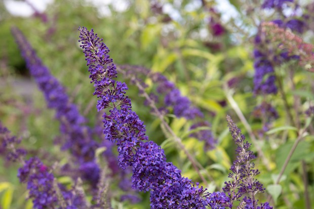 Violet-blue blooms of <em>Buddleja davidii</em> 'Blue Horizon'