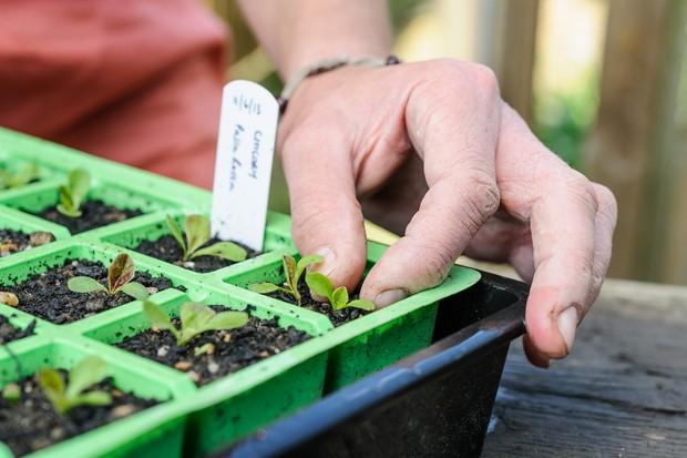 chicory-seedlings-2
