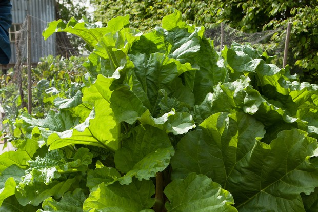 rhubarb-leaves-3