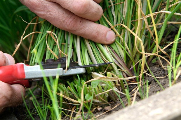 Cutting chive stems to ground level