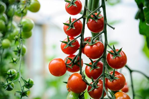 Ripe cherry tomatoes 'Gardeners' Delight'