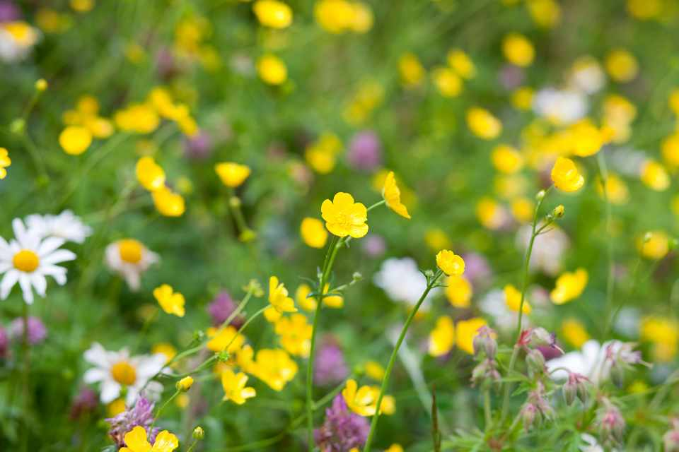 Buttercup, daisy and clover flowers in a lawn