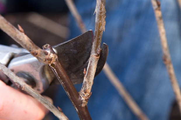 Pruning a deciduous shrub - cutting back to a well-placed bud