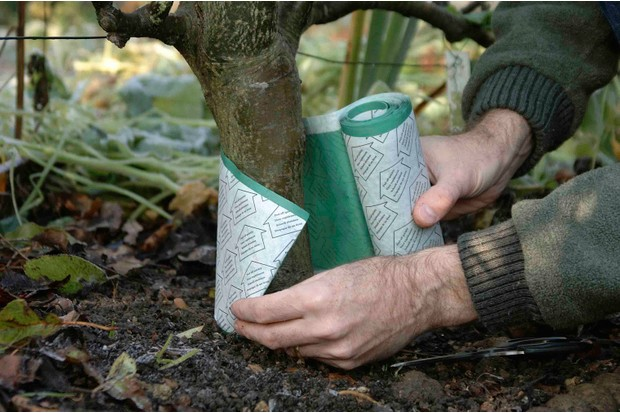 How to deal with winter moths - wrapping the grease band around the tree trunk