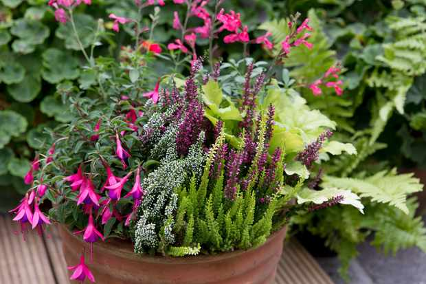 Salvia, Fuchsia and Heather Pot