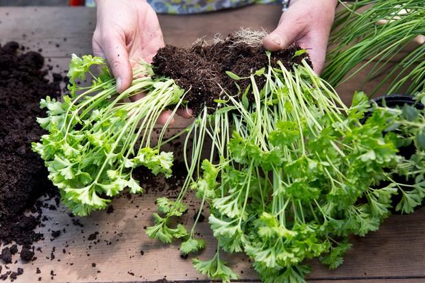 Dividing parsley