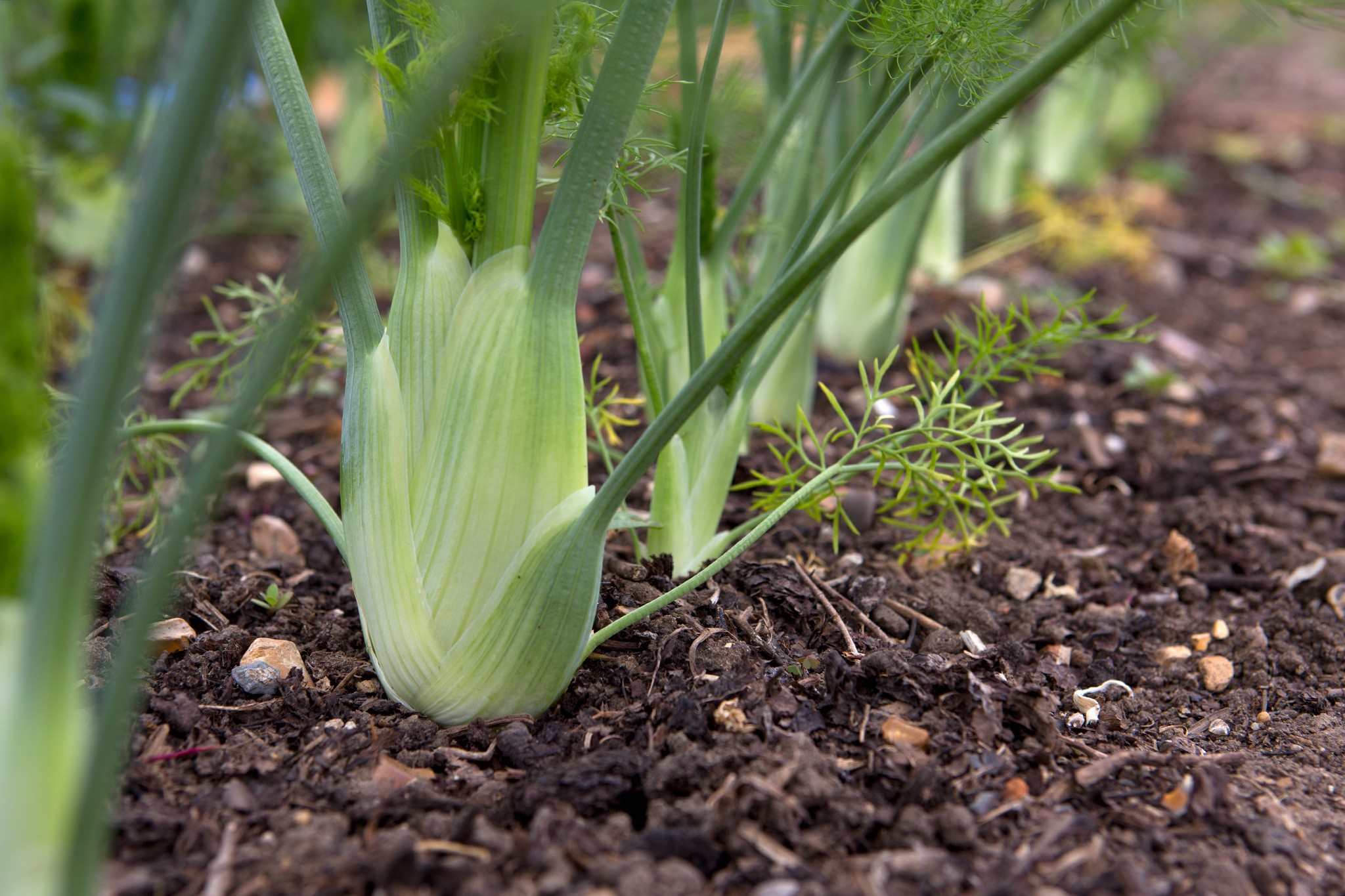 Florence Fennel – Grow Guide