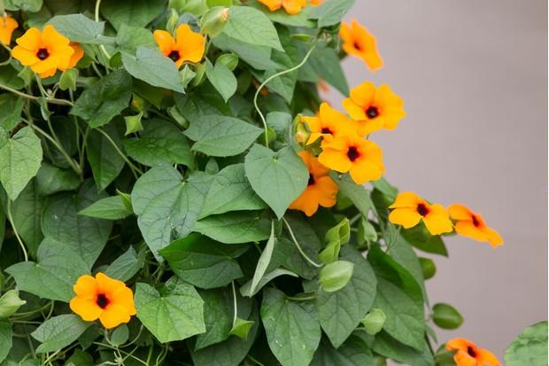 Black-centered, orange flowers of black-eyed Susan