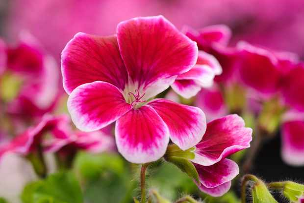 Pink pelargonium flowers