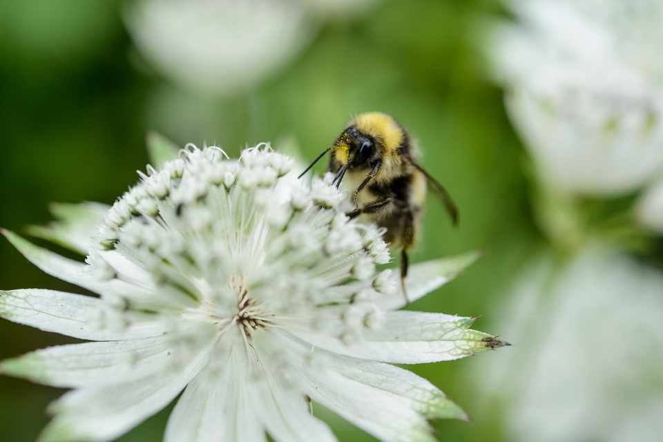 A bee on a white astrantia bloom