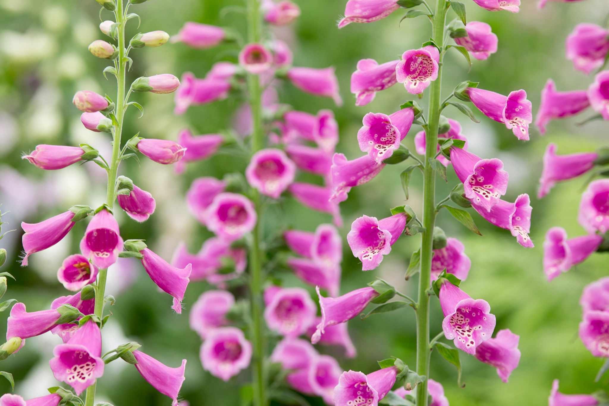 Pink-purple flowers of foxglove 'Dalmatian Purple'