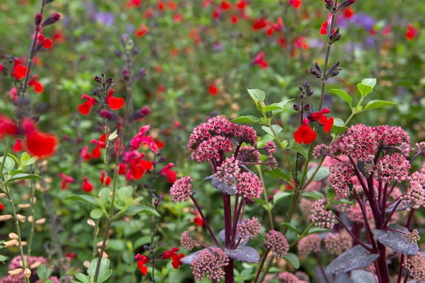 Red salvias with pink sedums