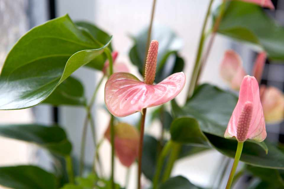 Moving Houseplants Outdoors in Summer - BBC Gardeners' World Magazine