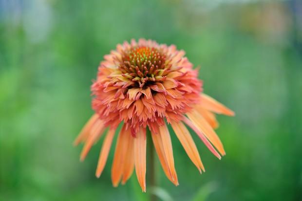 echinacea-irresistible-3