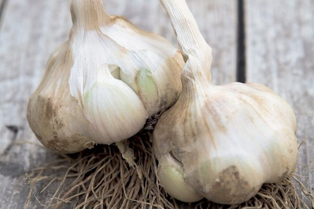 Large, white bulbs of Spanish garlic 'Iberian Wight'