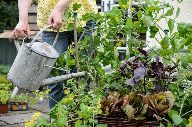 allotment-jobs-in-august-watering-3