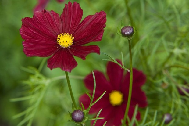 Cosmos: velvety red flowers of 'Rubenza'