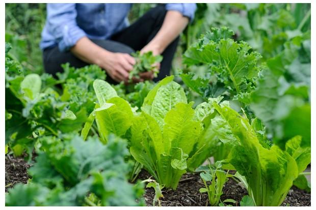lettuce-4